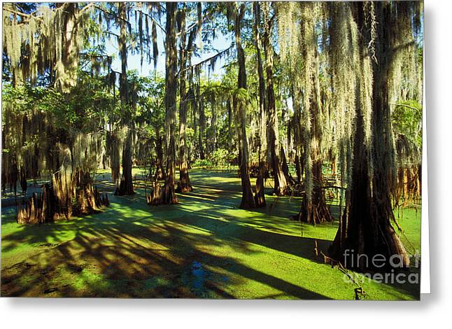 Bald Cypress Greeting Cards - Cypress Swamp Greeting Card by Gregory G. Dimijian