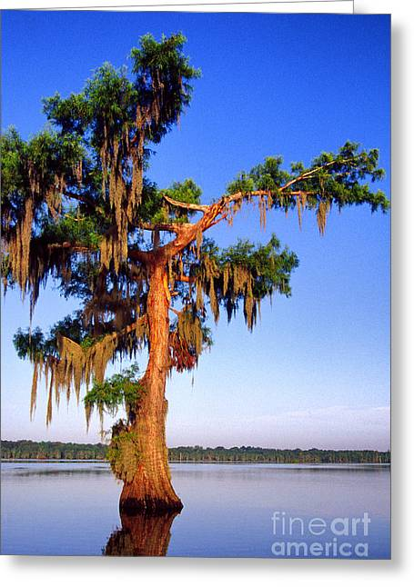 Cypress Tree Draped In Spanish Moss Greeting Card by Thomas R Fletcher