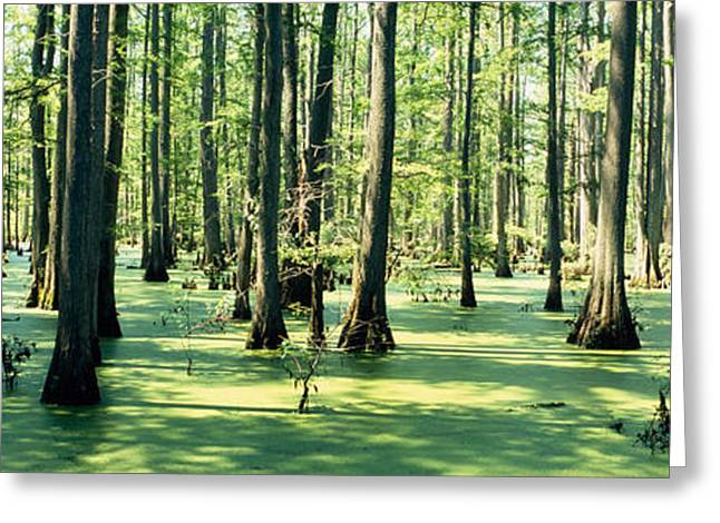Alga Greeting Cards - Cypress Trees In A Forest, Shawnee Greeting Card by Panoramic Images