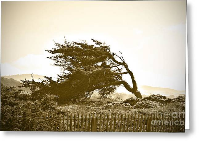 Cypress Trees in Monterey Greeting Card by Artist and Photographer Laura Wrede