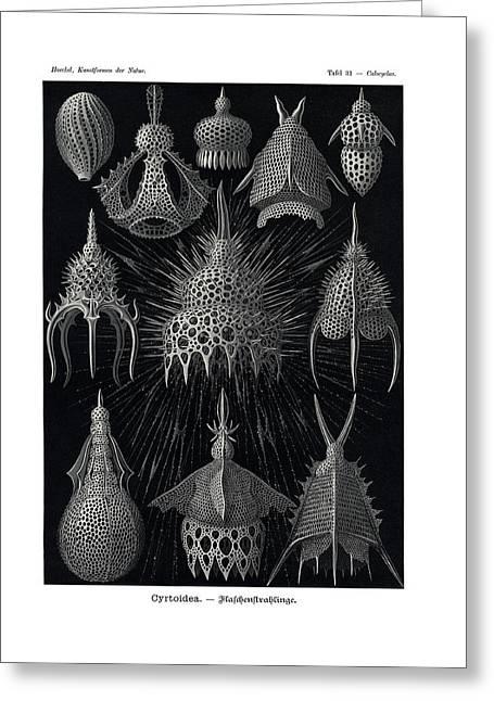 Cyrtoidea Greeting Card by Ernst Haeckel