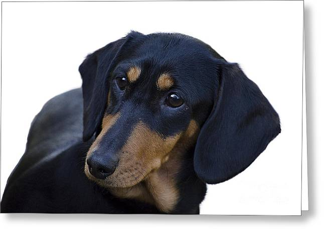 Dachshund Greeting Card by Linsey Williams