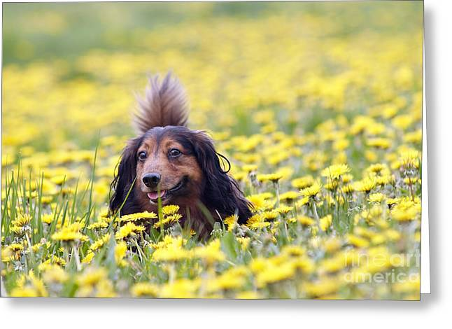 Muzzle Greeting Cards - Dachshund on the dandelions meadow Greeting Card by Michal Boubin