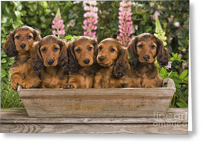 Flower Planter Greeting Cards - Dachshunds In A Flowerpot Greeting Card by Jean-Michel Labat