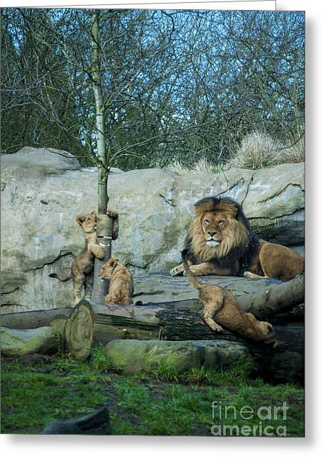 Lion Greeting Cards - Dad and Lion Cubs Greeting Card by Mandy Judson
