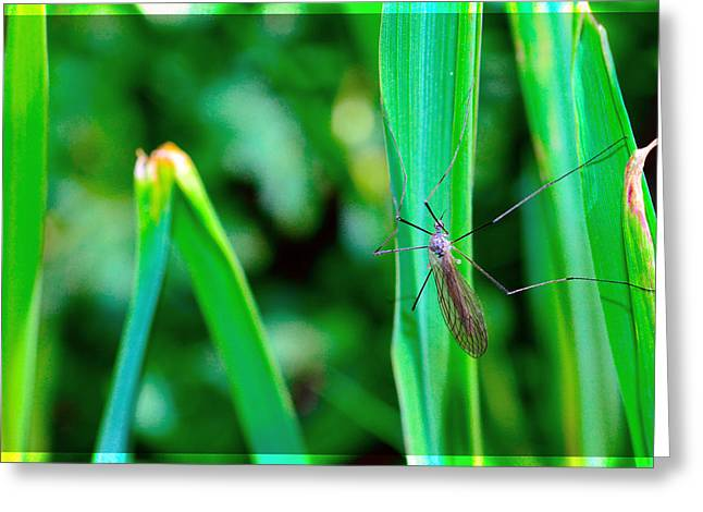 Invertebrates Mixed Media Greeting Cards - Daddy long legs  Greeting Card by Toppart Sweden
