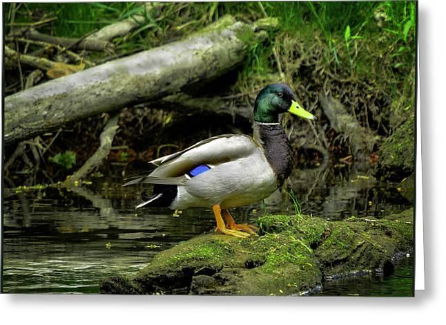 Thumbs Down Greeting Cards - Daddy River Duck Mallard Greeting Card by LeeAnn McLaneGoetz McLaneGoetzStudioLLCcom