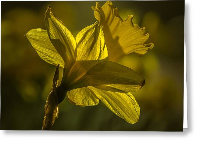 Backlighting Greeting Cards - Daff Greeting Card by Chris Fletcher