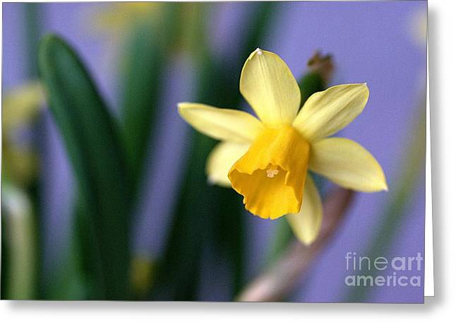 Daffodil Greeting Card by AmaS Art