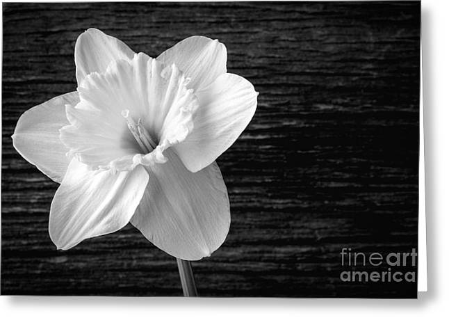 Daffodil Greeting Cards - Daffodil Narcissus Flower Black and White Greeting Card by Edward Fielding