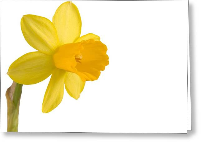 Single Pyrography Greeting Cards - Daffodil flower isolated on white Greeting Card by Anna Kaminska