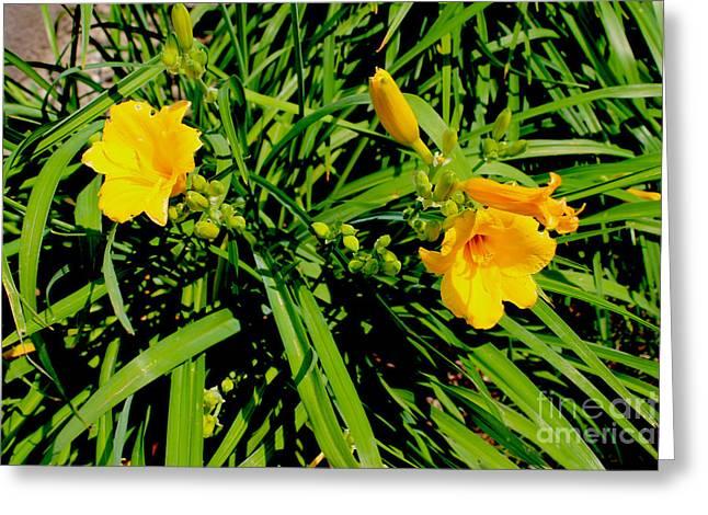 Daffodil Flowers Greeting Card by Corey Ford