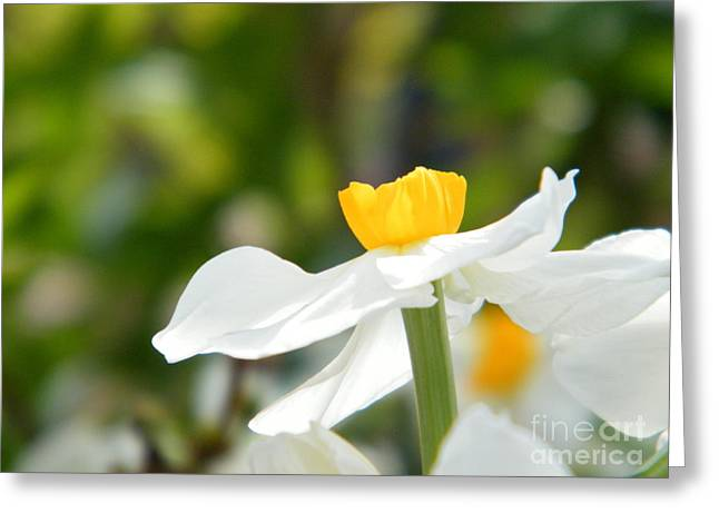 Wisteria In Bloom Greeting Cards - Daffodil in Profile Greeting Card by Cheryl Hardt Art