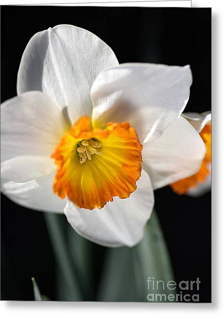 Joy Watson Greeting Cards - Daffodil in White Greeting Card by Joy Watson