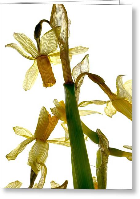 Botanical Greeting Cards - Daffodil Greeting Card by Julia McLemore