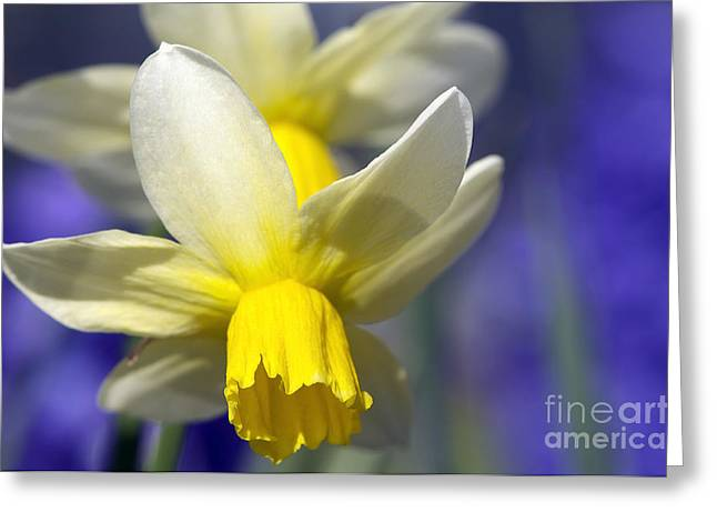Easter Flowers Greeting Cards - Daffodil Greeting Card by Sharon  Talson