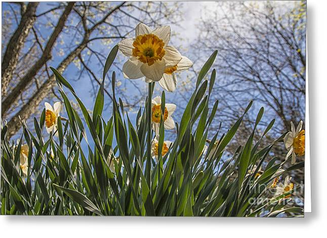 Dancing Petals Greeting Cards - Daffodil Sun Greeting Card by Terry Rowe