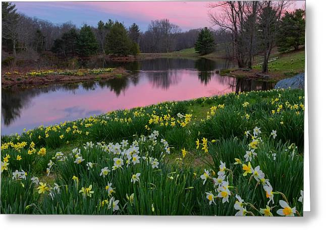 Daffodil Greeting Cards - Daffodil Sunset Square Greeting Card by Bill  Wakeley