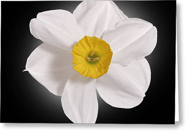 Pink Blossoms Greeting Cards - Daffodill  Greeting Card by Tony Cordoza