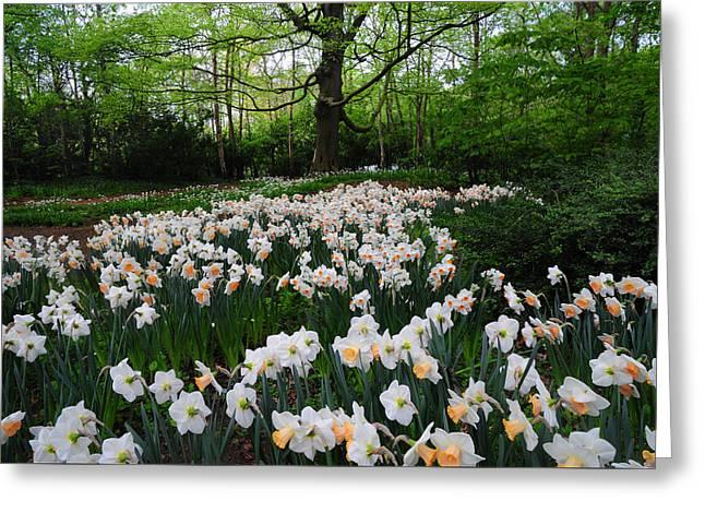 Daffodils Display. Keukenhof Botanical Garden. Netherlands Greeting Card by Jenny Rainbow