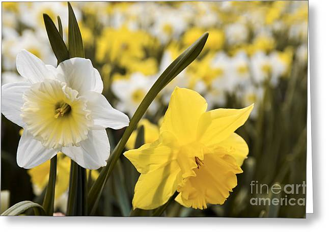 Daffodils Greeting Cards - Daffodils flowering Greeting Card by Elena Elisseeva