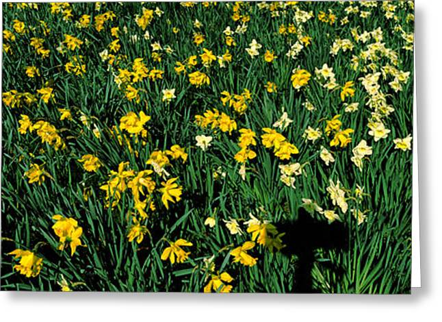In-city Greeting Cards - Daffodils In Green Park, City Greeting Card by Panoramic Images