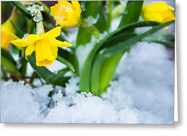 Winter Solstice Greeting Cards - Daffodils in the Snow  Greeting Card by Parker Cunningham