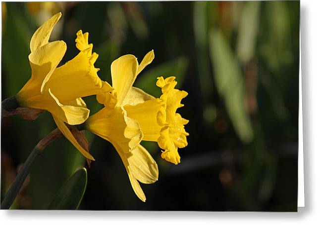 Daffodils  Greeting Card by Jim Nelson