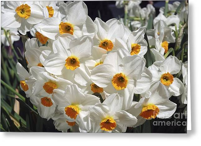 Spring Bulbs Greeting Cards - Daffodils (narcissus geranium) Greeting Card by Neil Joy