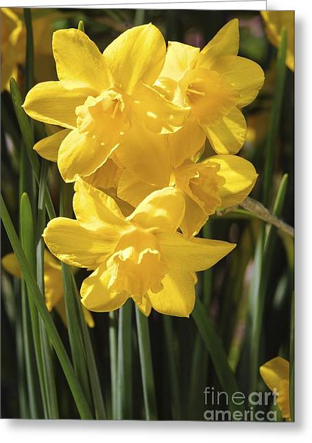Spring Bulbs Greeting Cards - Daffodils (narcissus orange Queen) Greeting Card by Neil Joy