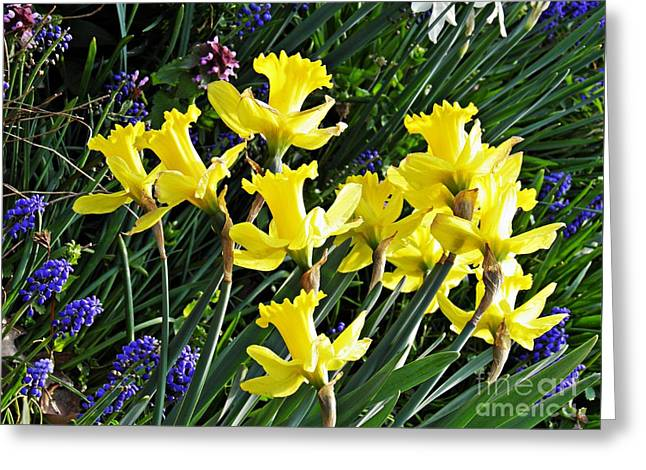 White Photographs Greeting Cards - Daffodils Greeting Card by Sarah Loft