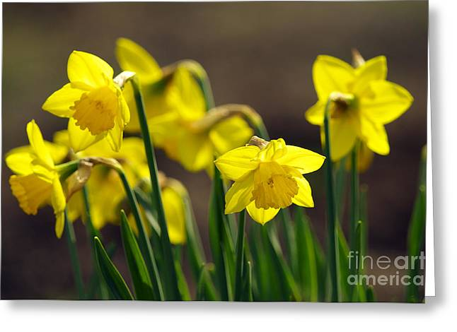 Spring Bulbs Greeting Cards - Daffodils Greeting Card by Sharon  Talson