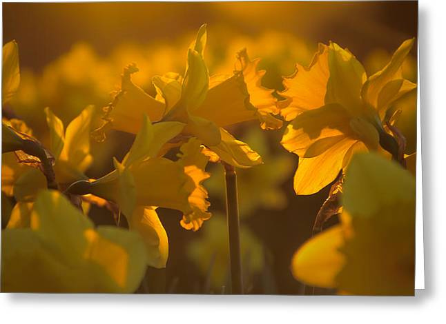 Background Greeting Cards - Daffs at sunset Greeting Card by Chris Fletcher
