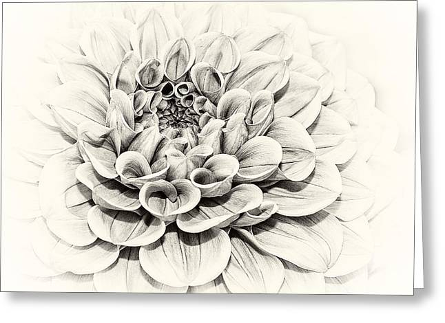 Close Up Greeting Cards - Dahlia 1 Greeting Card by Janet Burdon