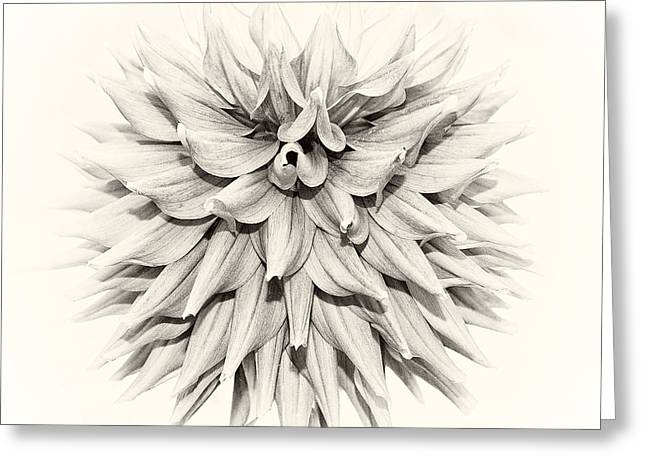 Flora And Fauna Greeting Cards - Dahlia 2 Greeting Card by Janet Burdon