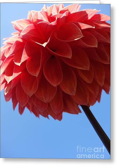 Sunday Stroll Greeting Cards - Dahlia #3 Greeting Card by Jacqueline Athmann