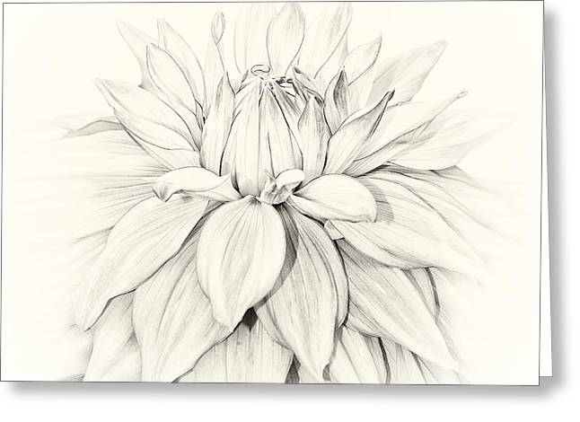 Flora And Fauna Greeting Cards - Dahlia 3 Greeting Card by Janet Burdon