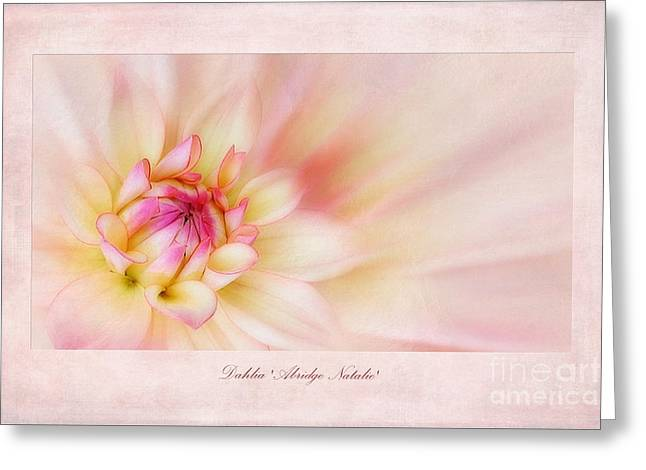 Dahlias Greeting Cards - Dahlia Abridge Natalie Greeting Card by John Edwards