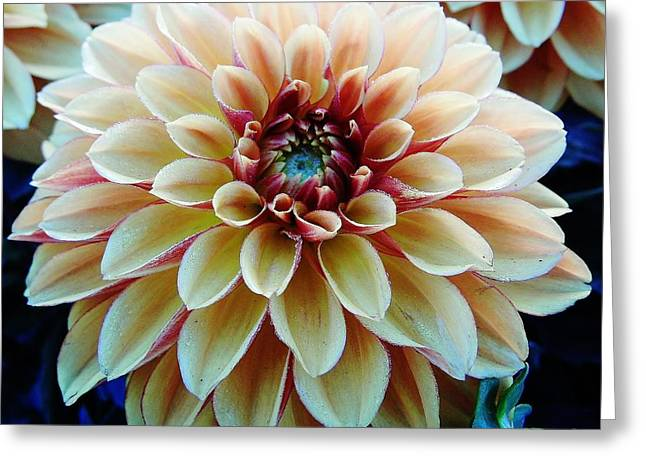 Moisture On Plants Photographs Greeting Cards - Colorful - Dahlia - Beauty Greeting Card by D Hackett