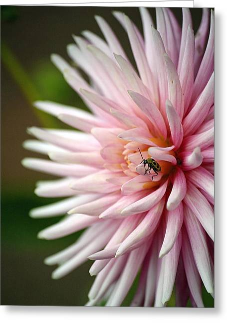 Mistymisschristie Greeting Cards - Dahlia Bug Greeting Card by Chris Anderson
