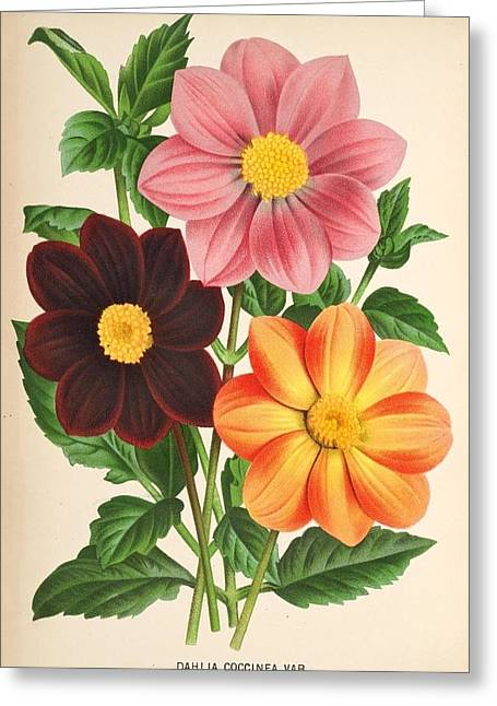 Office Plants Drawings Greeting Cards - Dahlia Coccinea from a Begian book of flora. Greeting Card by Philip Ralley