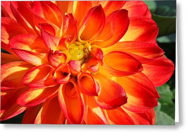 Nature Center Greeting Cards - Dahlia Delight Greeting Card by Francie Davis