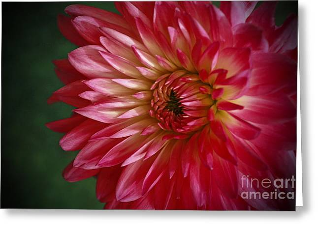 Shelley Myke Greeting Cards - Dahlia Delight Greeting Card by Inspired Nature Photography By Shelley Myke