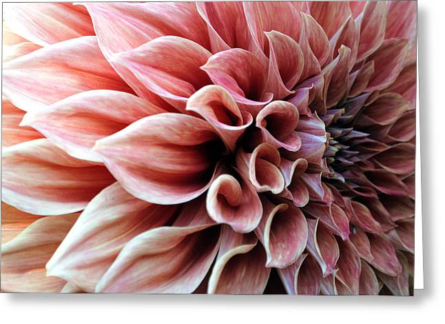 Petals Greeting Cards - Dahlia during spring Greeting Card by Sumit Mehndiratta