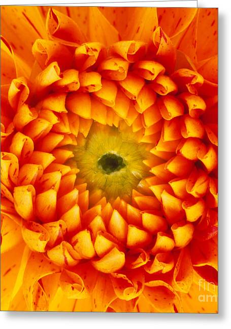 Compositae Greeting Cards - Dahlia Flower Greeting Card by Dr Jeremy Burgess