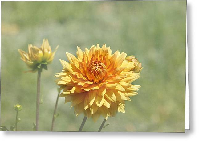 Dahlia Flowers Greeting Card by Kim Hojnacki