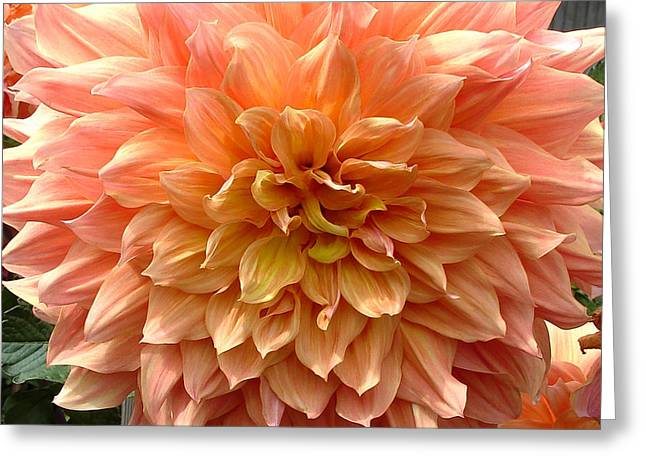 Dinnerplate Dahlias Greeting Cards - Dahlia in Peach and Yellow Greeting Card by Mary Ellen Tuite