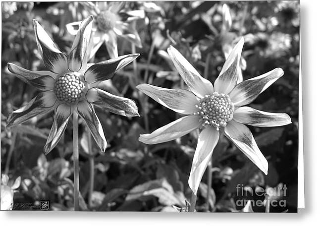 Amy Artwork Greeting Cards - Dahlia named Amys Star Greeting Card by J McCombie