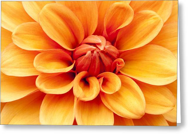 Close Focus Floral Greeting Cards - Dahlia Squared Greeting Card by Anne Gilbert