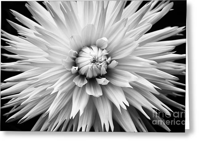 Dahlia White Lace Greeting Card by Tim Gainey